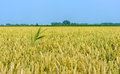 Green Reed Protrudes Above The Yellow Cornfield Stock Photos - 83933653