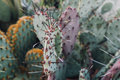 Cacti In The Greenhouse, The Cultivation Of Cacti, Rare Cactus Plants With Flowers. FILN Effect And Shallow Focus Stock Photo - 83993460