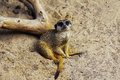 Meercat Family In The Zoo Royalty Free Stock Image - 83993956