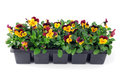 Pansy Flower Seedlings In A Tray Box On Isolated Background Royalty Free Stock Photography - 84001317