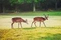 Sacred Sika Deers At Nara Park In The Morning Royalty Free Stock Images - 84016659