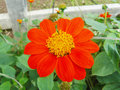 Red Sunflower Or Mexican Sunflower Stock Images - 84022264