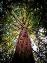 Huge Old Tree From Below Royalty Free Stock Images - 84022519