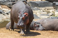 Hippos Stock Photography - 84037072