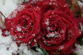 Red Roses In The Snow Royalty Free Stock Photos - 84049888