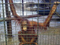 Sad Ape Or Monkey Is In The Cage. Animal Abuse, Neglect And Crue Stock Photos - 84061373