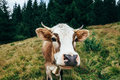 Funny Cow On A Meadow In Forest Royalty Free Stock Photo - 84069275