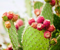 Prickly Pear Cactus Close Up With Fruit In Red Color Royalty Free Stock Images - 84126249