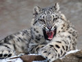 Snow Leopard Stock Photography - 84147612