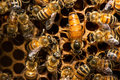 The Queen Bee Swarm Royalty Free Stock Images - 84181309