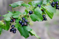 Currants Black Stock Images - 84209654