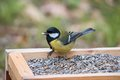 Great Tit On A Bird Table With Seed Royalty Free Stock Image - 84236616