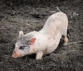 Portrait Of A Little Funny Piglet On A Farm Stock Photography - 84246522