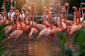 Flock Of Pink Flamingos Royalty Free Stock Images - 84273019