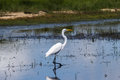 Great Egret Stock Images - 84275524