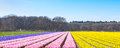 Dutch Spring Hyacinth Field Colorful Flower Panorama Background Royalty Free Stock Photos - 84277548