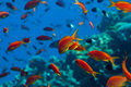 Anthias Shoal Stock Image - 84281521