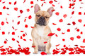 Valentines Day Dog Crazy In Love Royalty Free Stock Photo - 84319305