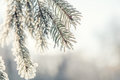 Branch Pine Tree In Snow Stock Images - 84376404