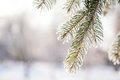 Branch Pine Tree In Snow Royalty Free Stock Images - 84383479