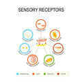 Human Skin And Sensory Receptors. Royalty Free Stock Photo - 84441495