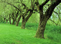 Row Of Willow Trees Royalty Free Stock Images - 8455039