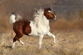 Pinto Horse Run Stock Photos - 84517193