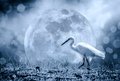 Animals In Wildlife - White Egrets. Outdoors. Dark Tone. Royalty Free Stock Images - 84633679