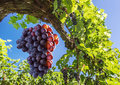 Wine Grapes On The Vine. Stock Photo - 84641200