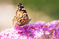 Painted Lady Butterfly Stock Image - 84715061
