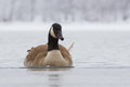 Canadian Goose On Frozen Lake Royalty Free Stock Photography - 84716257