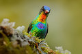 Detail Portrait Of Shiny Bird. Fiery-throated Hummingbird, Panterpe Insignis, Colour Bird Sitting On Larch Branch. Red Glossy Humm Stock Photo - 84782210