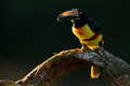 Toucan Sitting On The Branch In The Forest, Boca Tapada, Laguna De Lagarto Lodge, Costa Rica. Nature Bird Travel In Central Americ Royalty Free Stock Image - 84782476
