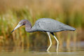 Heron With Water Grass. Little Blue Heron, Egretta Caerulea, In The Water, Mexico. Bird In The Beautiful Green River Water. Wildli Stock Images - 84785484
