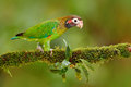 Brown-hooded Parrot, Pionopsitta Haematotis, Portrait Of Light Green Parrot With Brown Head, Costa Rica. Detail Close-up Portrait Stock Photos - 84785683