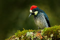 Woodpecker From Costa Rica Mountain Forest, Acorn Woodpecker, Melanerpes Formicivorus. Beautiful Bird Sitting On The Green Mosse Stock Photo - 84785870