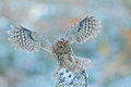 Fly Winter Scene With Owl. Flying Owl In The Snow Forest. Owl In Fly. Action Scene With Owl. Flying Eurasian Tawny Owl, Strix Aluc Royalty Free Stock Photography - 84786487