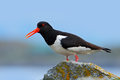 Oystercatcher In The Nature Habitat. Bird In The Sea Coast. Oystercatcher, Heamatopus Ostralegus, Water Bird In The Wave, With Ope Royalty Free Stock Image - 84786636