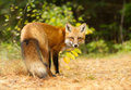 Red Fox In Autumn Forest Stock Image - 84794151