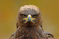 Detail Portrait Of Eagle. Bird In The Grass. Steppe Eagle, Aquila Nipalensis, Sitting In The Grass On Meadow, Forest In Background Royalty Free Stock Photos - 84812498