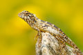 Lizard From Asia, Calotes Calotes, Green Garden Lizard, With Beautiful Yellow Background. Wildlife Scene From Asia Nature. Summer Royalty Free Stock Photo - 84813975