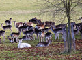 Herd Of Deer In An English Park Royalty Free Stock Images - 8490159