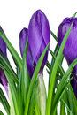 Violet Crocus Flowers Royalty Free Stock Photography - 8498847