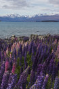 Lupines Blossom At Lake Tekapo, New Zealand Royalty Free Stock Photos - 84915568