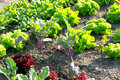 Young Lettuce Plants On A Vegetable Garden Patch Stock Photo - 84920070