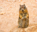 Ground Squirell On Sandy Soil Background. Stock Photos - 84947653