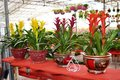 Row Of Guzmania Plants Stock Photos - 84978473