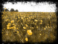 Decayed Buttercup Fields Royalty Free Stock Photos - 857838