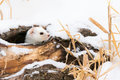 Short Tailed Weasel Looking Out Of Log Hole Royalty Free Stock Photography - 85089147