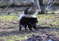 Striped Skunk Alert Royalty Free Stock Photography - 85092807